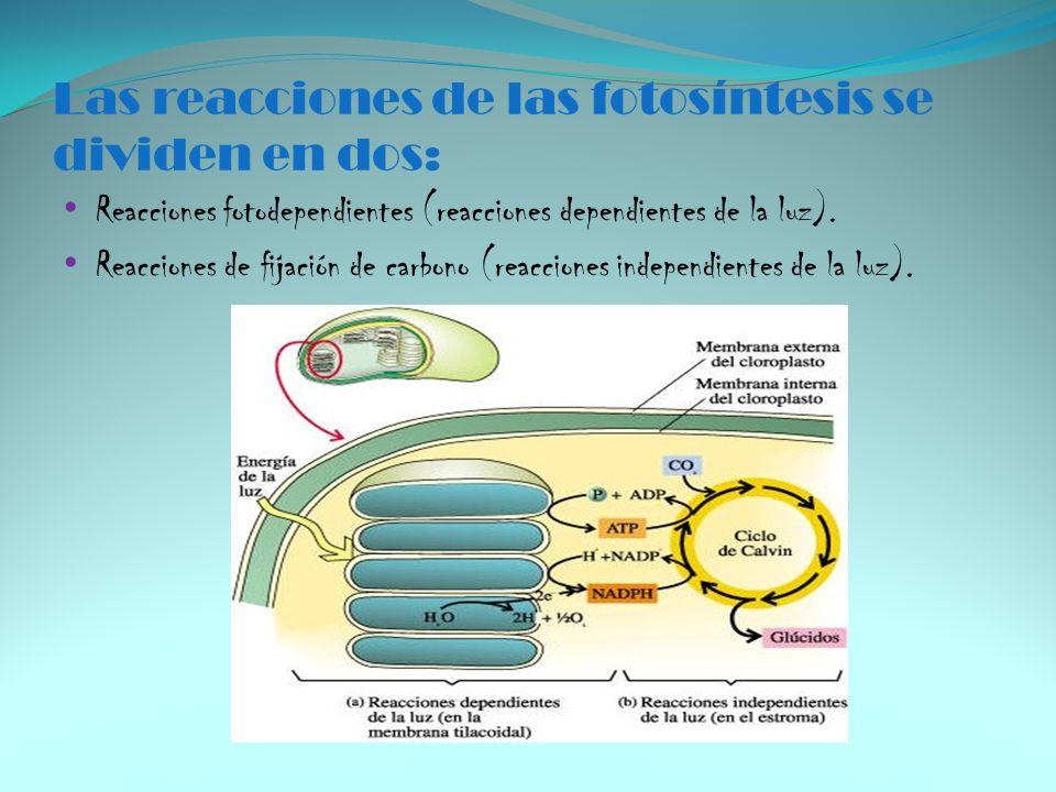 Las reacciones de las fotosíntesis se dividen en dos: Reacciones fotodependientes (reacciones dependientes de la luz). Reacciones de fijación de carbo