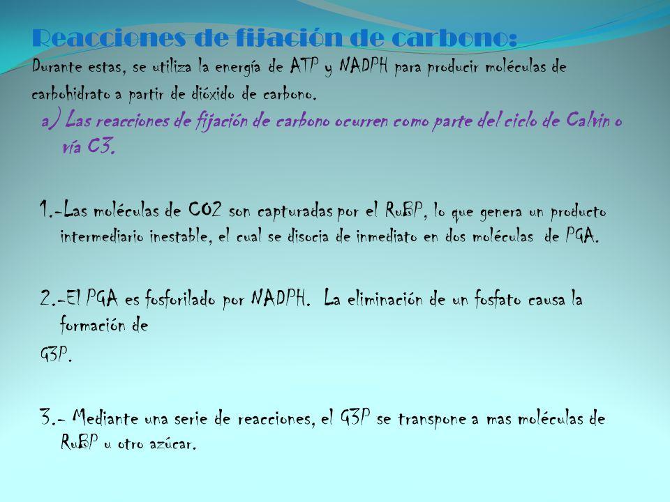 Reacciones de fijación de carbono: Durante estas, se utiliza la energía de ATP y NADPH para producir moléculas de carbohidrato a partir de dióxido de