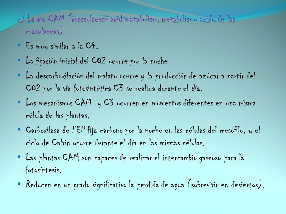 c) La vía CAM (crassulacean acid matabolism, metabolismo acido de las crasuláceas) Es muy similar a la C4. La fijación inicial del CO2 ocurre por la n