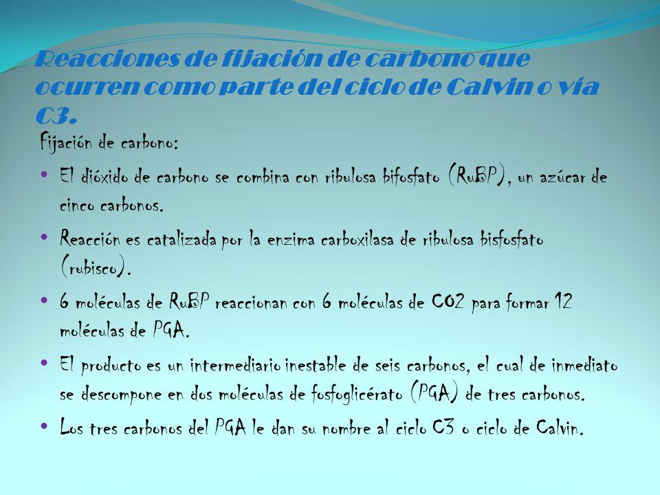 Reacciones de fijación de carbono que ocurren como parte del ciclo de Calvin o vía C3. Fijación de carbono: El dióxido de carbono se combina con ribul