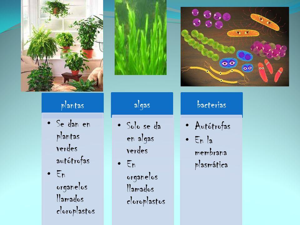 plantas Se dan en plantas verdes autótrofas En organelos llamados cloroplastos algas Solo se da en algas verdes En organelos llamados cloroplastos bac