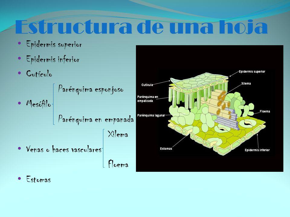 Estructura de una hoja Epidermis superior Epidermis inferior Cutículo Parénquima esponjoso Mesófilo Parénquima en empanada Xilema Venas o haces vascul