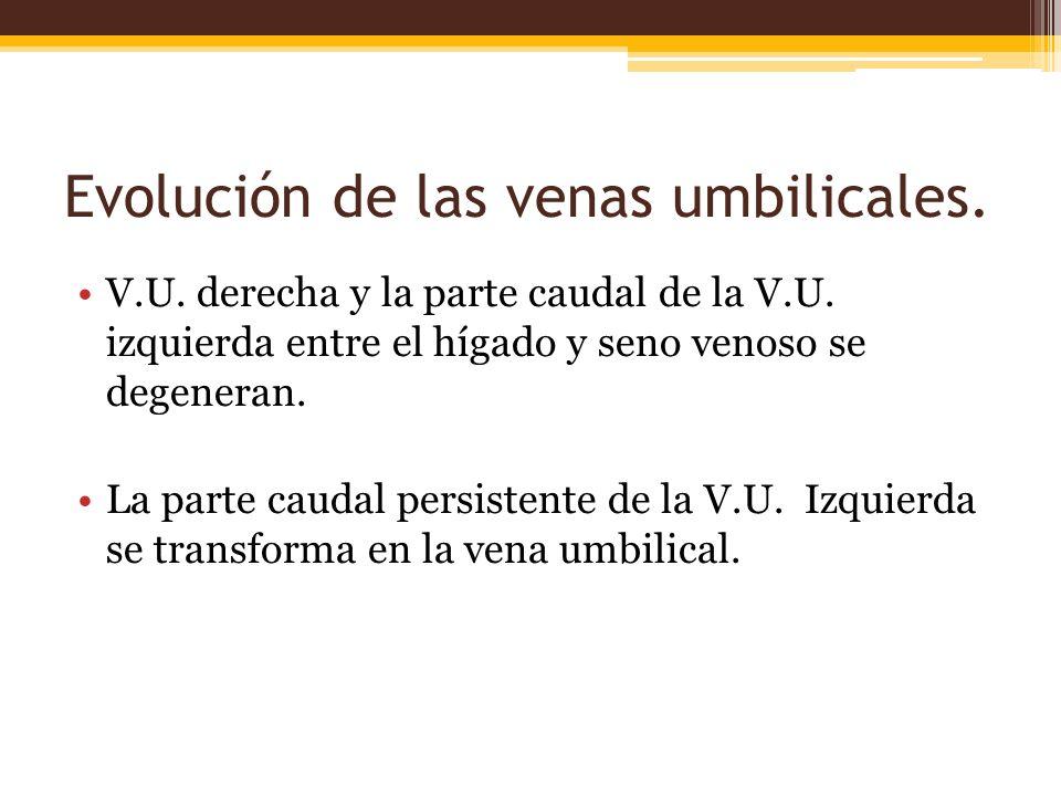 Evolución de las venas umbilicales.V.U. derecha y la parte caudal de la V.U.