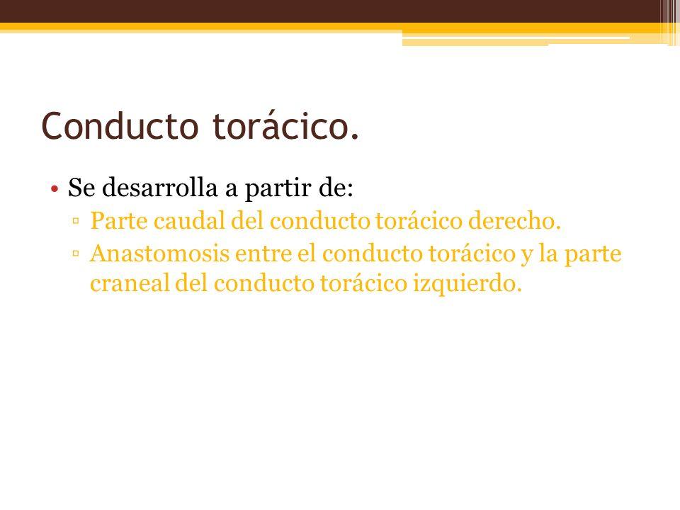 Conducto torácico.Se desarrolla a partir de: Parte caudal del conducto torácico derecho.