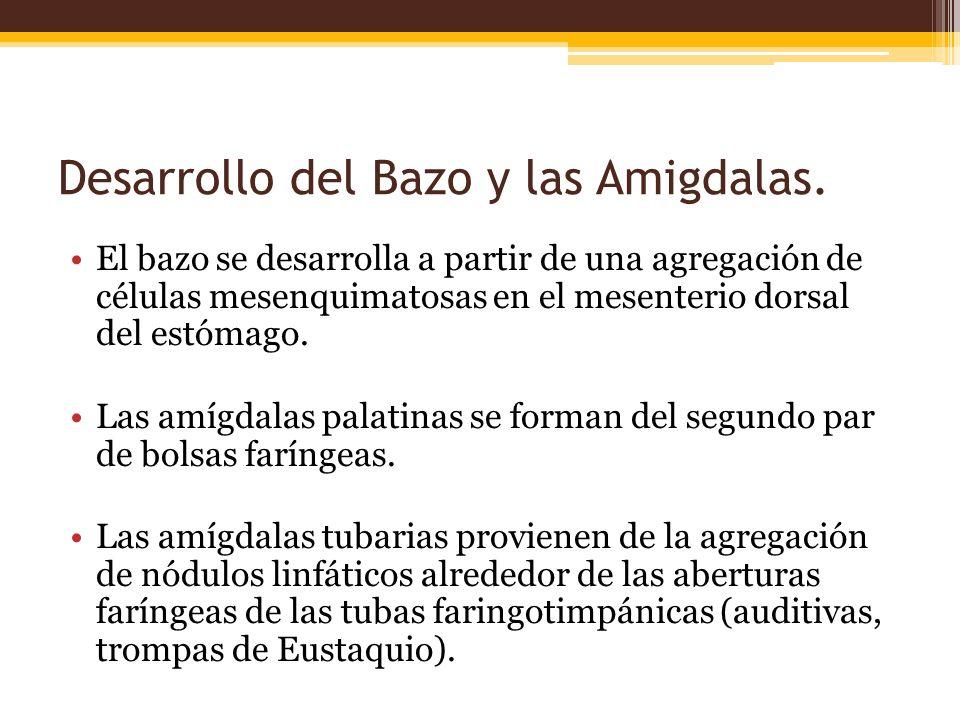 Desarrollo del Bazo y las Amigdalas.