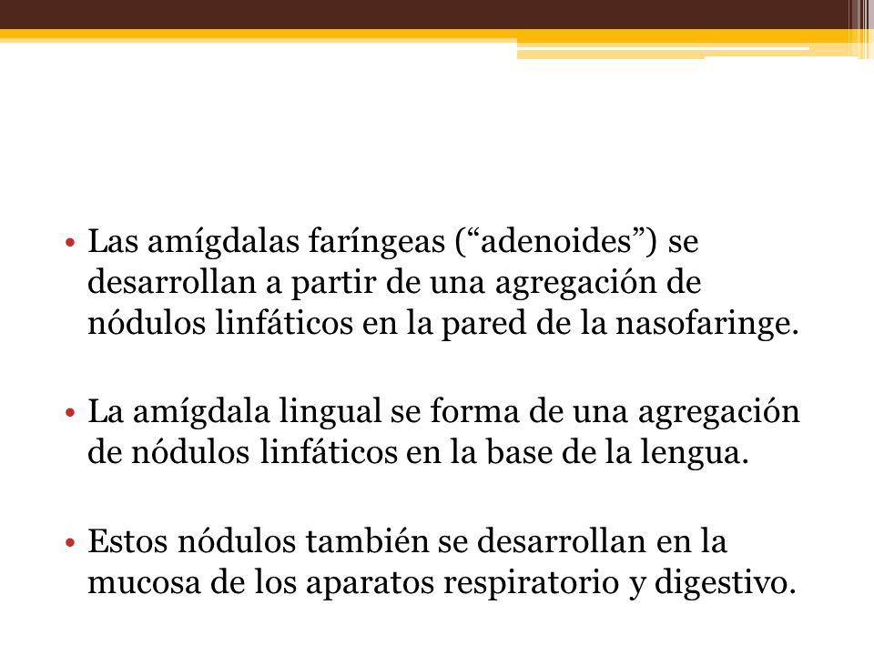 Las amígdalas faríngeas (adenoides) se desarrollan a partir de una agregación de nódulos linfáticos en la pared de la nasofaringe.