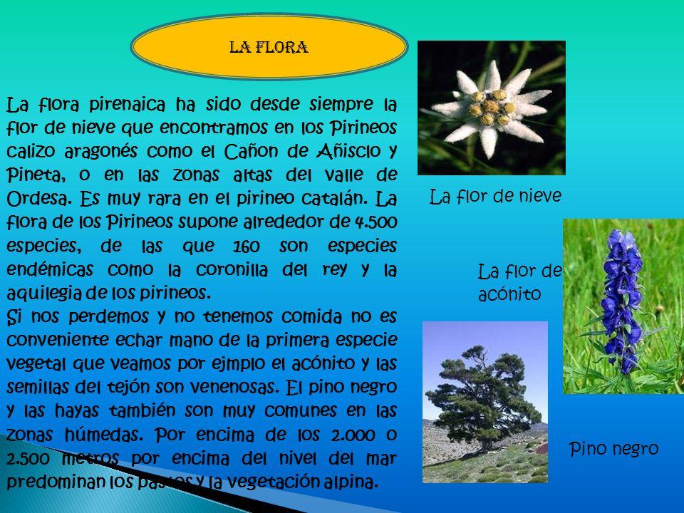 La flora pirenaica ha sido desde siempre la flor de nieve que encontramos en los Pirineos calizo aragonés como el Cañon de Añisclo y Pineta, o en las