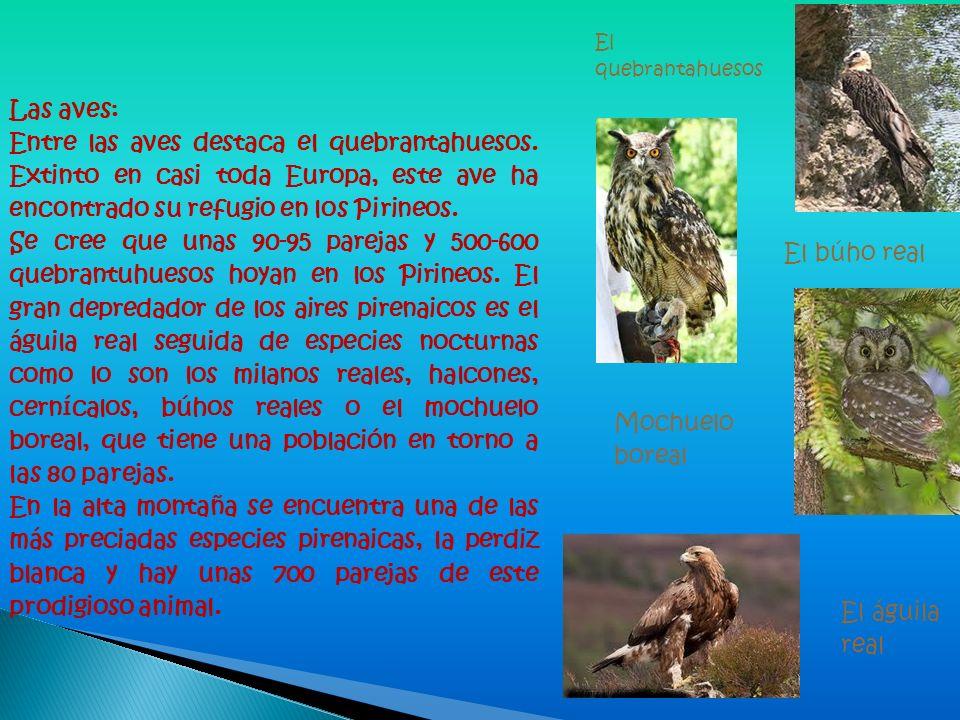 Las aves: Entre las aves destaca el quebrantahuesos. Extinto en casi toda Europa, este ave ha encontrado su refugio en los Pirineos. Se cree que unas