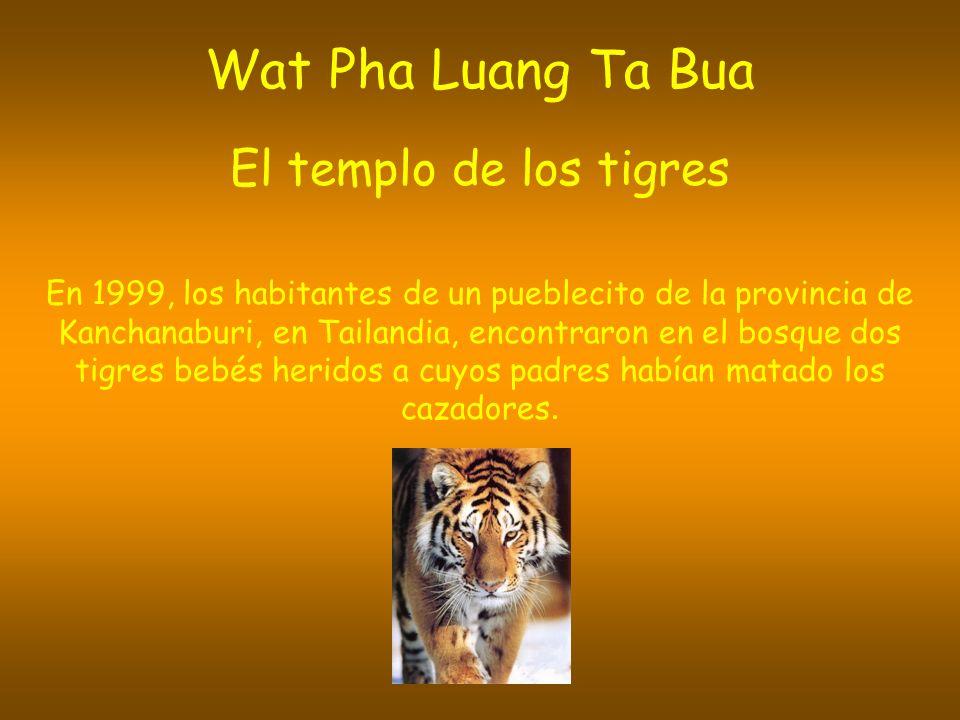 Wat Pha Luang Ta Bua El templo de los tigres En 1999, los habitantes de un pueblecito de la provincia de Kanchanaburi, en Tailandia, encontraron en el bosque dos tigres bebés heridos a cuyos padres habían matado los cazadores.