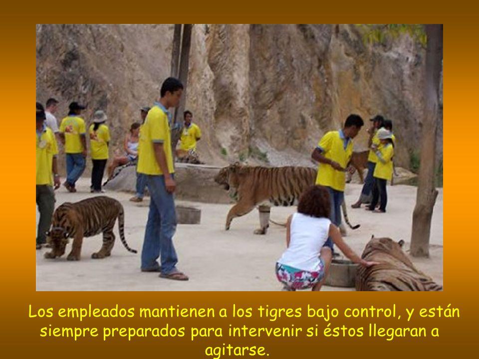 Los empleados mantienen a los tigres bajo control, y están siempre preparados para intervenir si éstos llegaran a agitarse.
