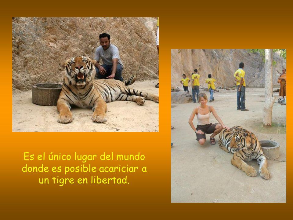 Es el único lugar del mundo donde es posible acariciar a un tigre en libertad.