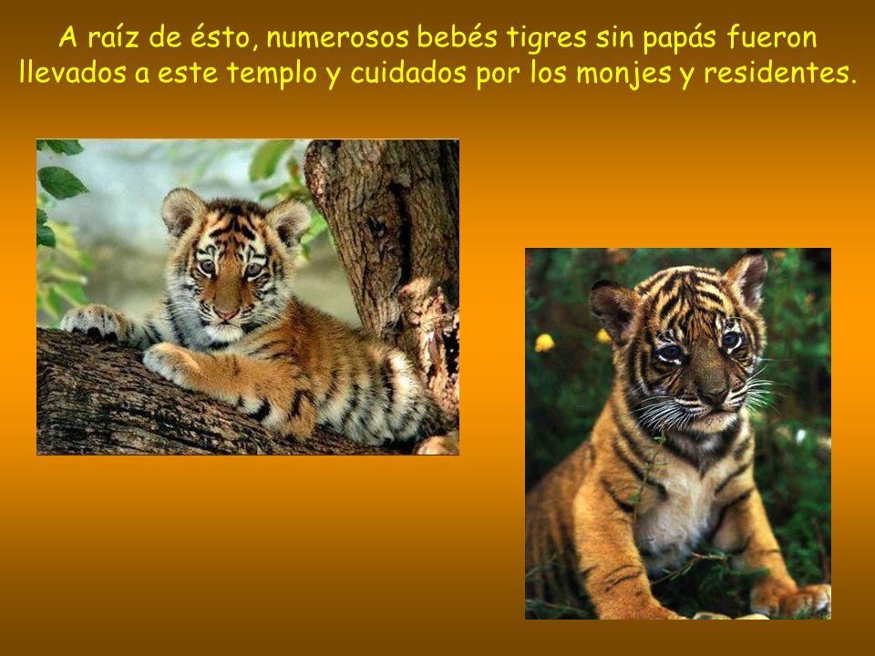 A raíz de ésto, numerosos bebés tigres sin papás fueron llevados a este templo y cuidados por los monjes y residentes.