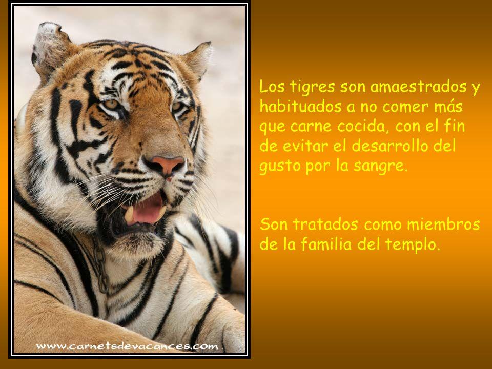 Los tigres son amaestrados y habituados a no comer más que carne cocida, con el fin de evitar el desarrollo del gusto por la sangre.