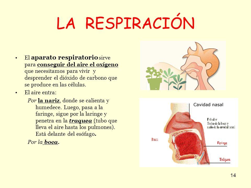 14 LA RESPIRACIÓN El aparato respiratorio sirve para conseguir del aire el oxígeno que necesitamos para vivir y desprender el dióxido de carbono que s