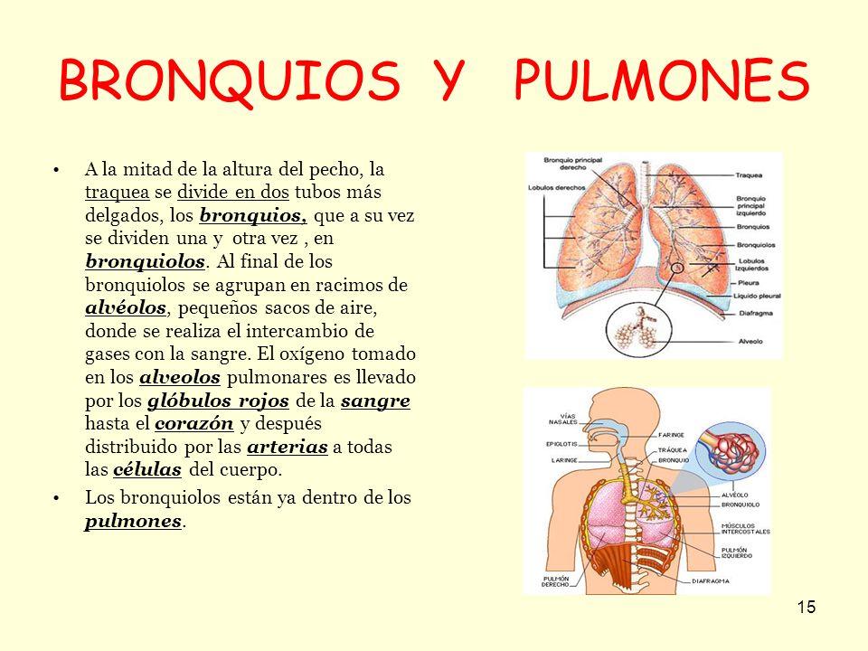15 BRONQUIOS Y PULMONES A la mitad de la altura del pecho, la traquea se divide en dos tubos más delgados, los bronquios, que a su vez se dividen una