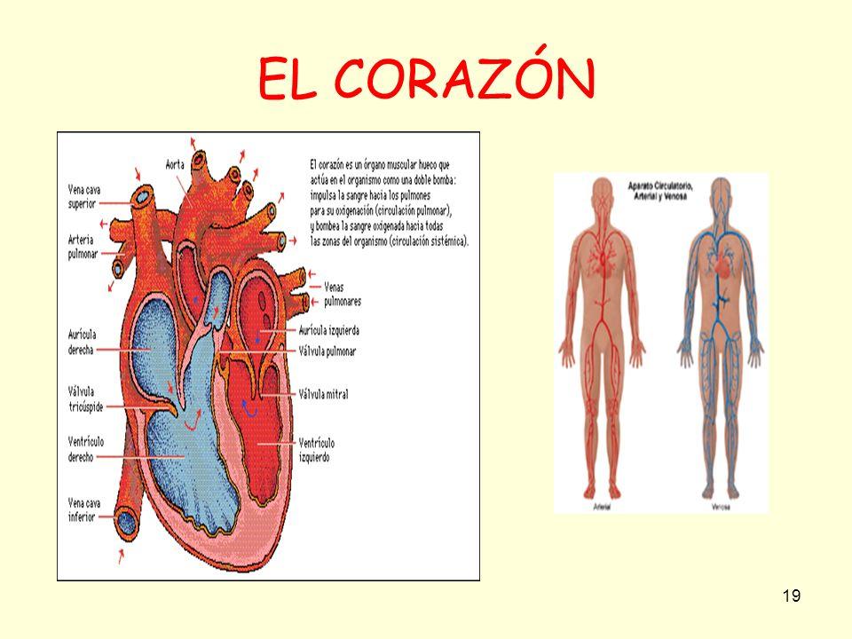 19 EL CORAZÓN