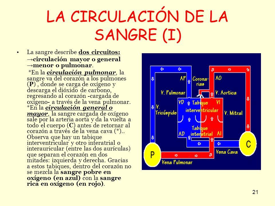 21 LA CIRCULACIÓN DE LA SANGRE (I) La sangre describe dos circuitos: circulación mayor o general menor o pulmonar. *En la circulación pulmonar, la san