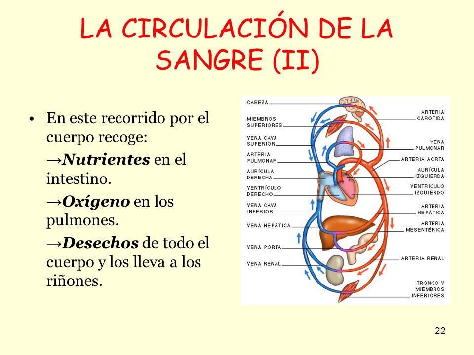 22 LA CIRCULACIÓN DE LA SANGRE (II) En este recorrido por el cuerpo recoge: Nutrientes en el intestino. Oxígeno en los pulmones. Desechos de todo el c