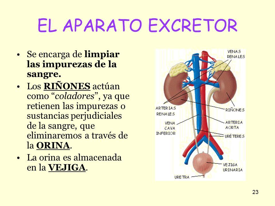 23 EL APARATO EXCRETOR Se encarga de limpiar las impurezas de la sangre. Los RIÑONES actúan como coladores, ya que retienen las impurezas o sustancias