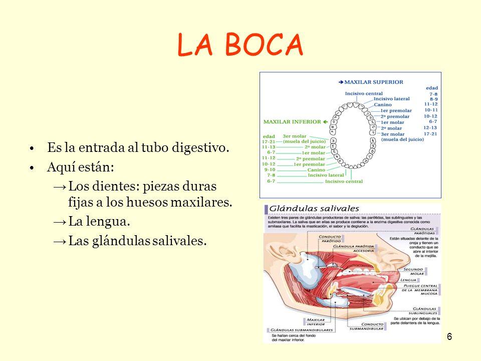 6 LA BOCA Es la entrada al tubo digestivo. Aquí están: Los dientes: piezas duras fijas a los huesos maxilares. La lengua. Las glándulas salivales.