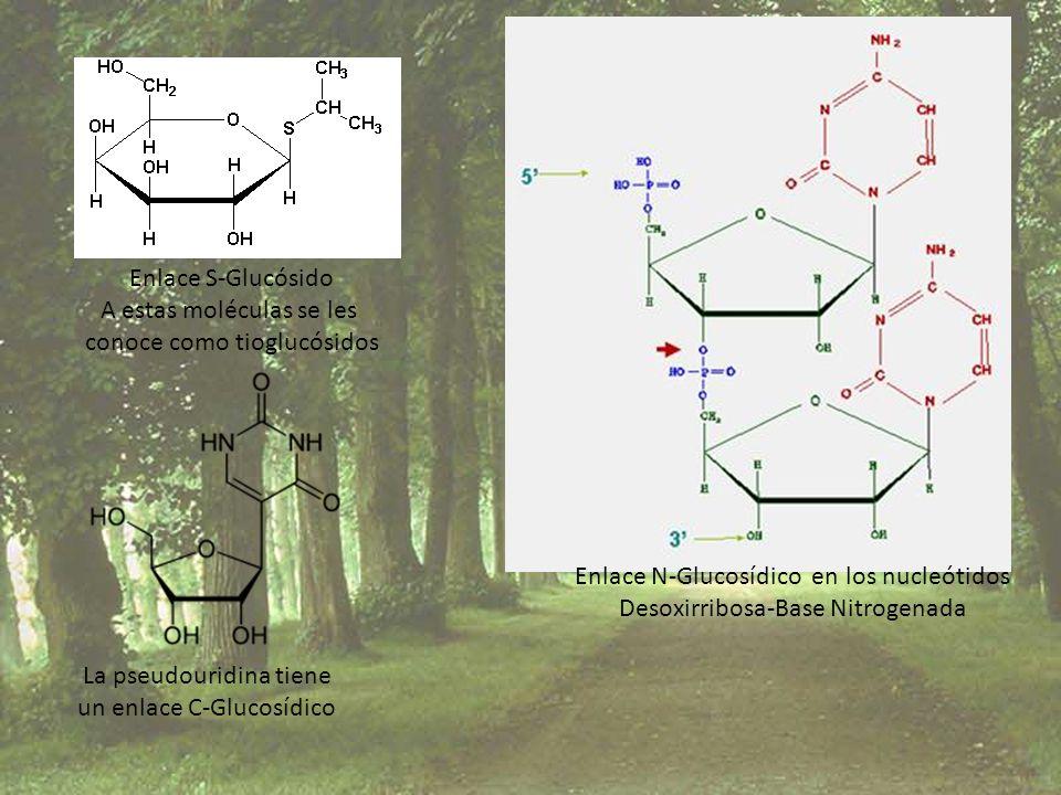 Enlace S-Glucósido A estas moléculas se les conoce como tioglucósidos Enlace N-Glucosídico en los nucleótidos Desoxirribosa-Base Nitrogenada La pseudo