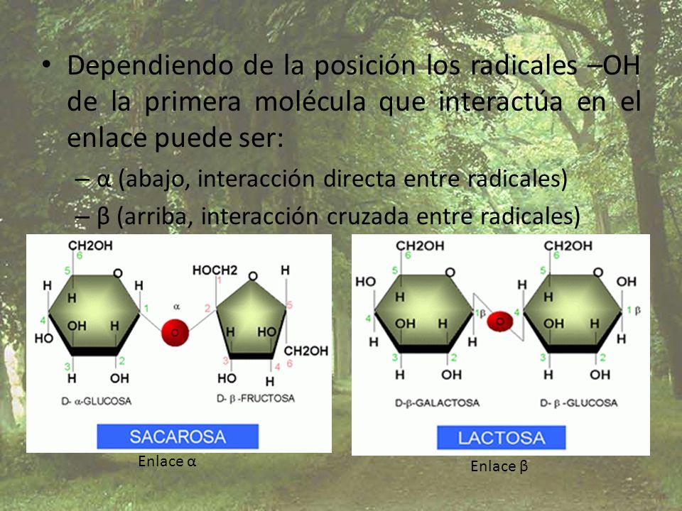 Dependiendo de la posición los radicales –OH de la primera molécula que interactúa en el enlace puede ser: – α (abajo, interacción directa entre radic