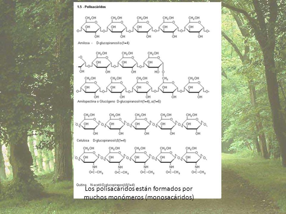 Los polisacáridos están formados por muchos monómeros (monosacáridos)