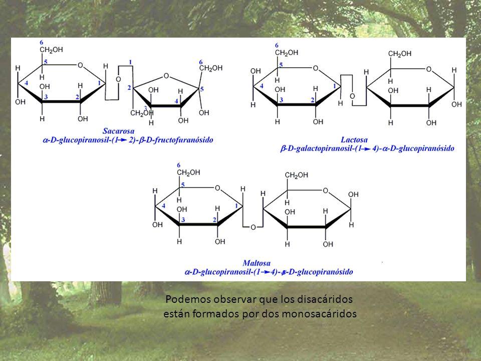 Podemos observar que los disacáridos están formados por dos monosacáridos