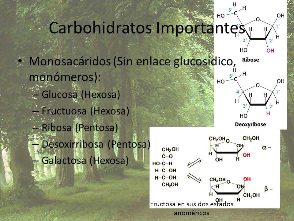 Carbohidratos Importantes Monosacáridos (Sin enlace glucosídico, monómeros): – Glucosa (Hexosa) – Fructuosa (Hexosa) – Ribosa (Pentosa) – Desoxirribos