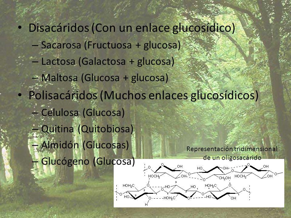 Disacáridos (Con un enlace glucosídico) – Sacarosa (Fructuosa + glucosa) – Lactosa (Galactosa + glucosa) – Maltosa (Glucosa + glucosa) Polisacáridos (