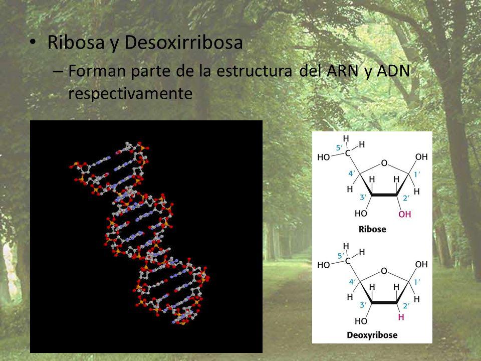 Ribosa y Desoxirribosa – Forman parte de la estructura del ARN y ADN respectivamente