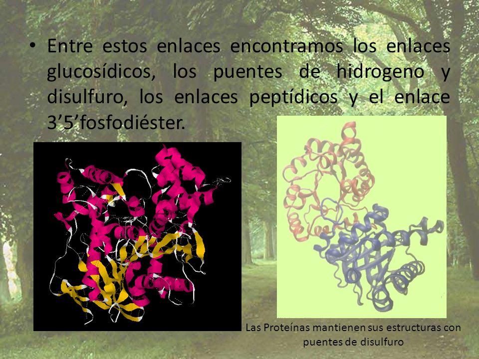 Entre estos enlaces encontramos los enlaces glucosídicos, los puentes de hidrogeno y disulfuro, los enlaces peptídicos y el enlace 35fosfodiéster. Las