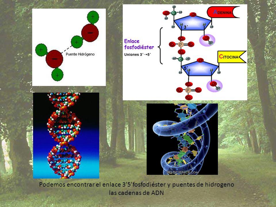 Podemos encontrar el enlace 35fosfodiéster y puentes de hidrogeno las cadenas de ADN
