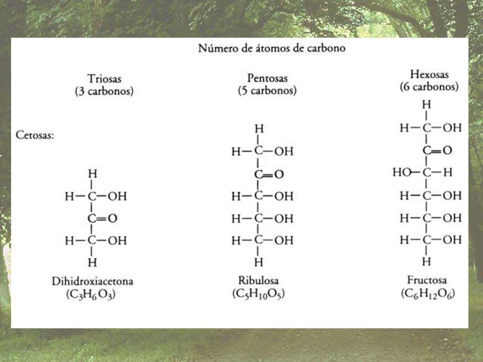 Dependiendo del número de carbohidratos enlazados podemos decir que: – Si están compuestas de 2 carbohidratos, las conocemos como disacáridos – Si están formadas por 3, trisacáridos – De 2 a 10 moléculas, oligosacáridos – Si están formadas por mas de 10 moléculas, polisacáridos (según T.W.G.