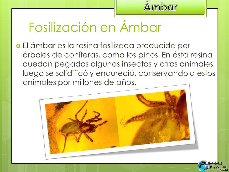 Fosilización en Ámbar El ámbar es la resina fosilizada producida por árboles de coníferas, como los pinos. En ésta resina quedan pegados algunos insec