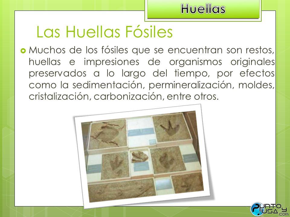 Las Huellas Fósiles Muchos de los fósiles que se encuentran son restos, huellas e impresiones de organismos originales preservados a lo largo del tiem