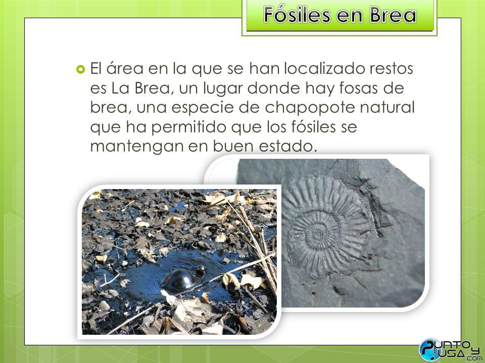 El área en la que se han localizado restos es La Brea, un lugar donde hay fosas de brea, una especie de chapopote natural que ha permitido que los fós