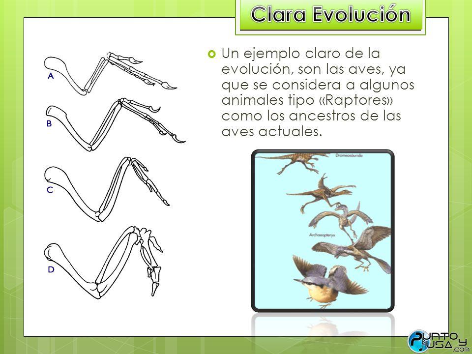 Un ejemplo claro de la evolución, son las aves, ya que se considera a algunos animales tipo «Raptores» como los ancestros de las aves actuales.