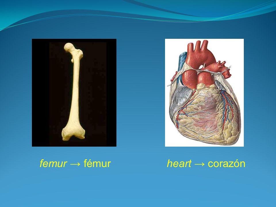 femur fémurheart corazón