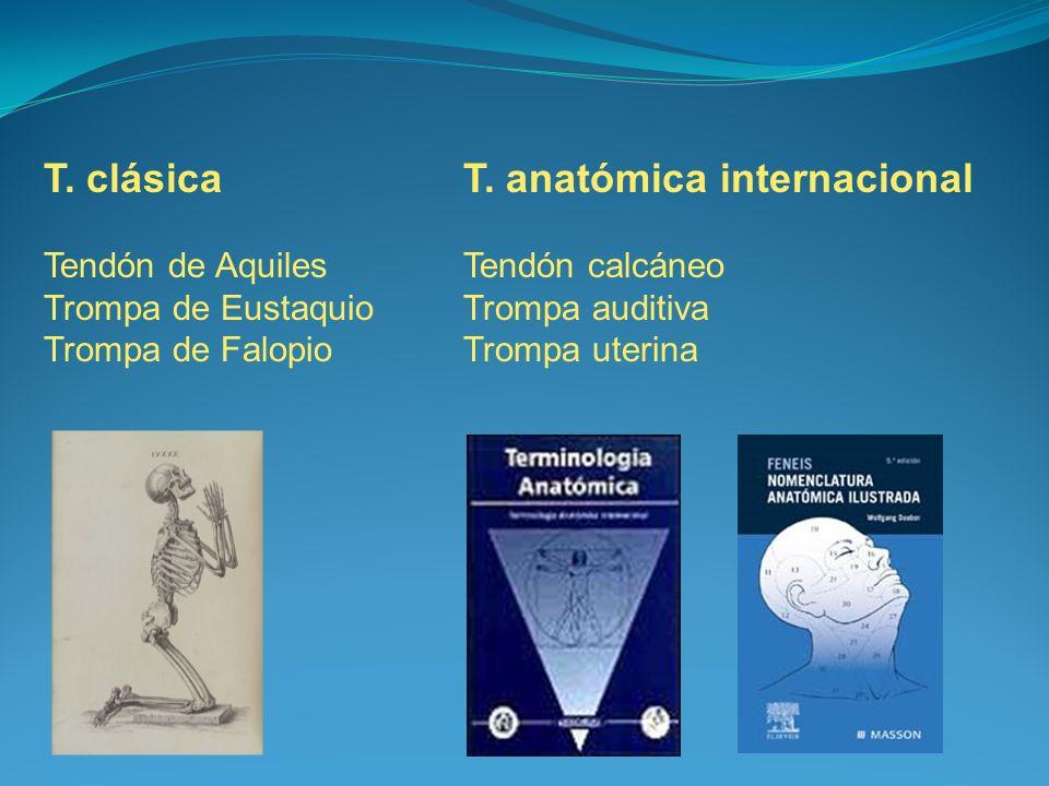 T. clásicaT. anatómica internacional Tendón de AquilesTendón calcáneo Trompa de EustaquioTrompa auditiva Trompa de FalopioTrompa uterina