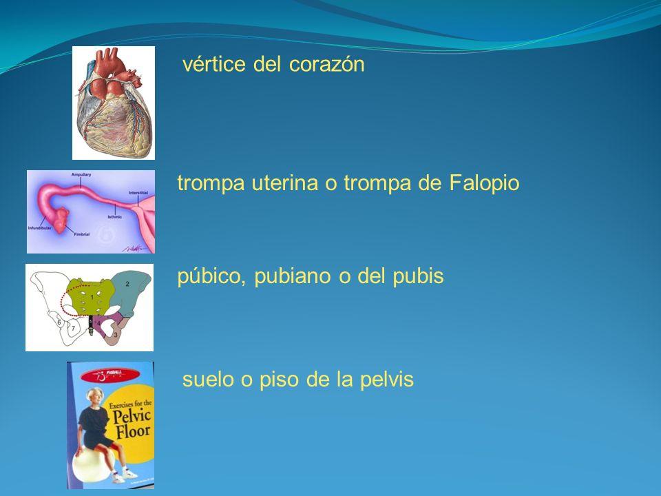 vértice del corazón trompa uterina o trompa de Falopio púbico, pubiano o del pubis suelo o piso de la pelvis