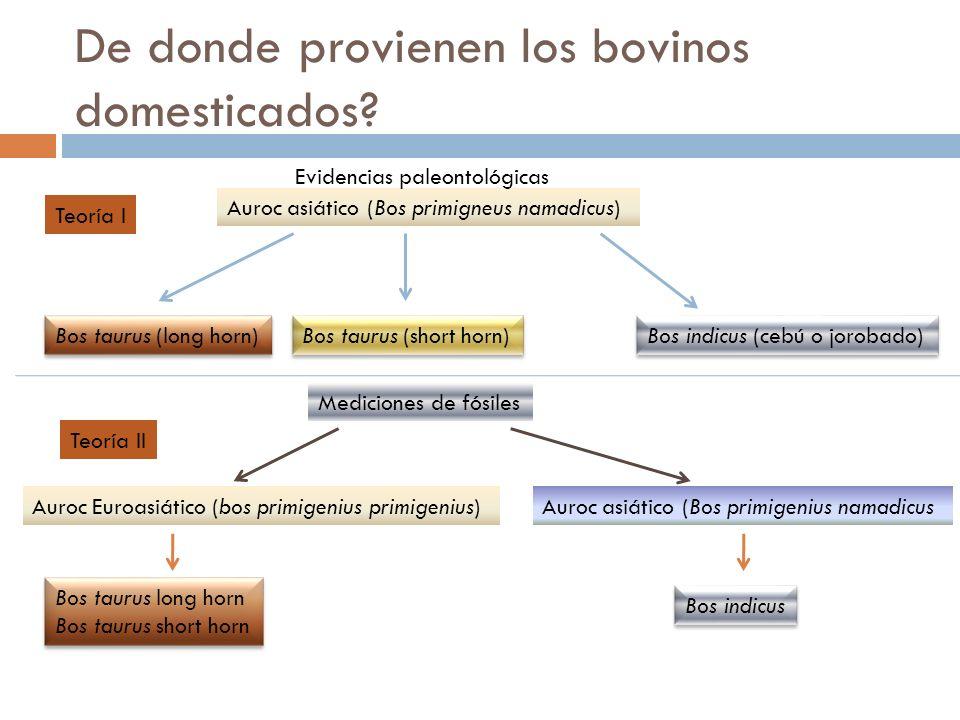 De donde provienen los bovinos domesticados? Bos taurus (long horn) Auroc asiático (Bos primigneus namadicus) Bos taurus (short horn) Bos indicus (ceb