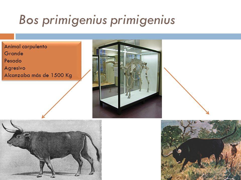 Bos primigenius primigenius Animal corpulento Grande Pesado Agresivo Alcanzaba más de 1500 Kg Animal corpulento Grande Pesado Agresivo Alcanzaba más d