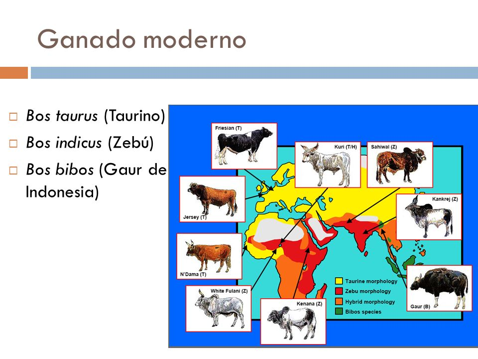 Ganado moderno Bos taurus (Taurino) Bos indicus (Zebú) Bos bibos (Gaur de Indonesia)