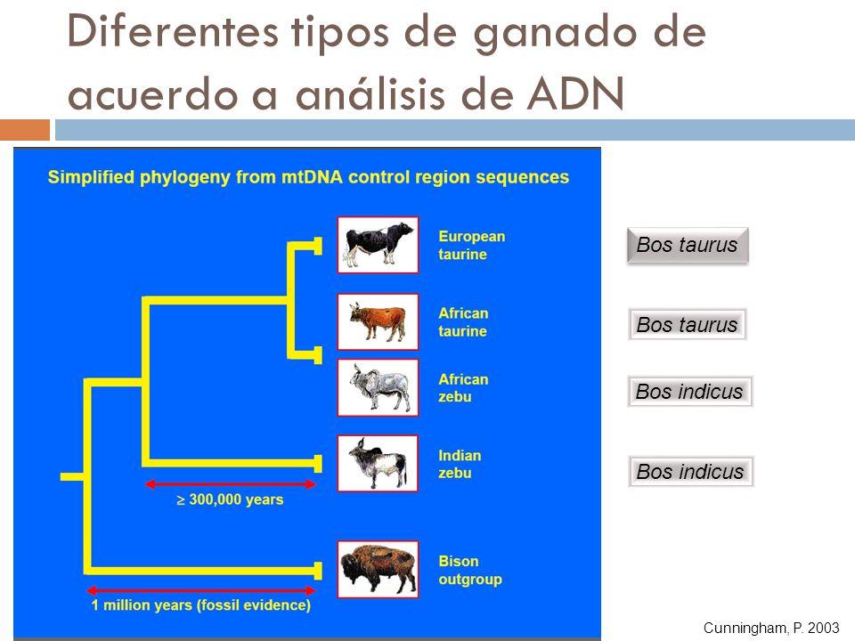 Diferentes tipos de ganado de acuerdo a análisis de ADN Bos taurus Bos indicus Cunningham, P. 2003