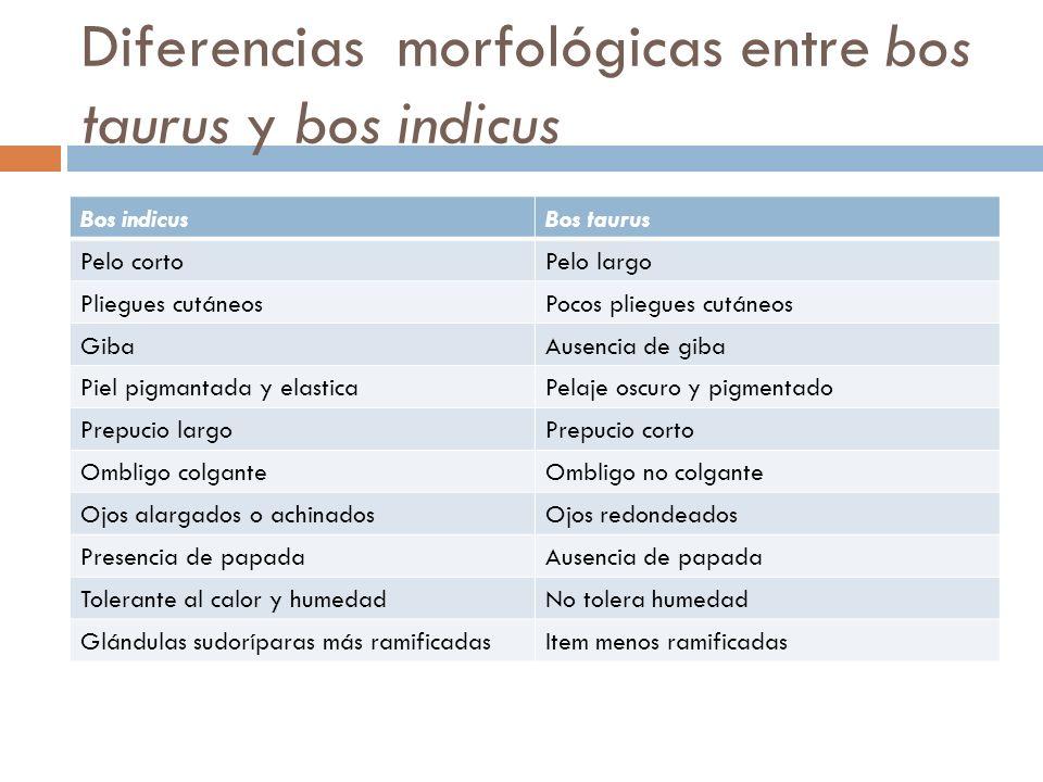 Diferencias morfológicas entre bos taurus y bos indicus Bos indicusBos taurus Pelo cortoPelo largo Pliegues cutáneosPocos pliegues cutáneos GibaAusenc