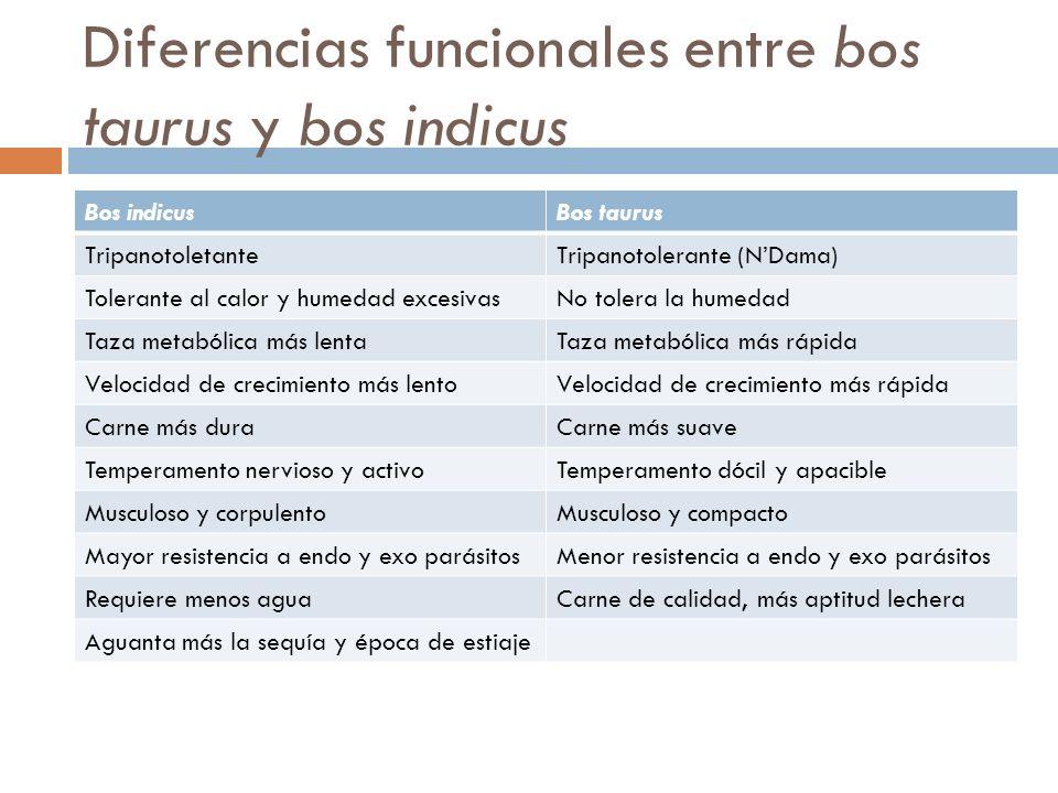 Diferencias funcionales entre bos taurus y bos indicus Bos indicusBos taurus TripanotoletanteTripanotolerante (NDama) Tolerante al calor y humedad exc