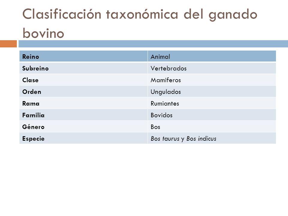 Clasificación taxonómica del ganado bovino ReinoAnimal SubreinoVertebrados ClaseMamiferos OrdenUngulados RamaRumiantes FamiliaBovidos GéneroBos Especi
