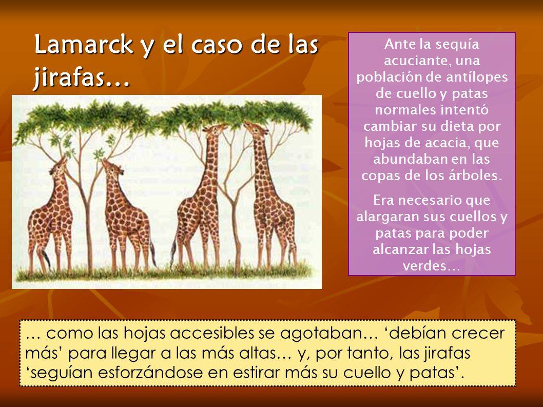 Lamarck y el caso de las jirafas… Ante la sequía acuciante, una población de antílopes de cuello y patas normales intentó cambiar su dieta por hojas d