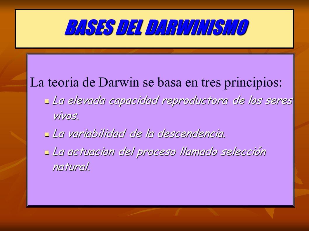 BASES DEL DARWINISMO La teoria de Darwin se basa en tres principios: La elevada capacidad reproductora de los seres vivos. La elevada capacidad reprod